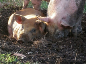 lees-happy-pigs[2]