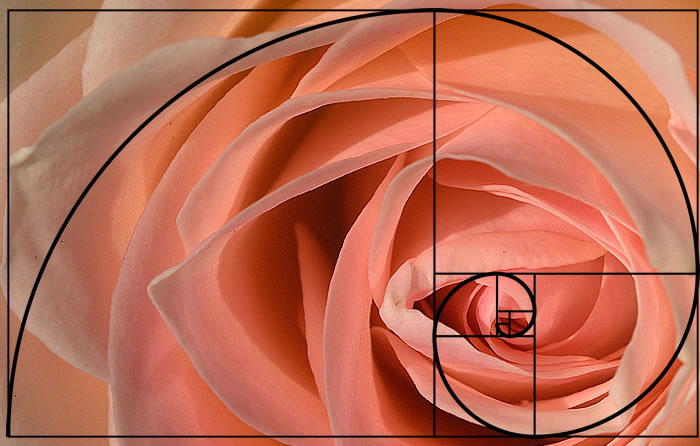 Golden Ratio in a rose